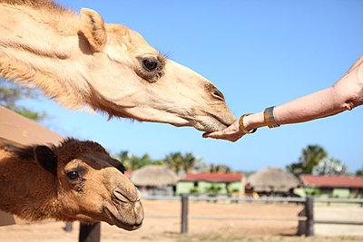 Kamele füttern - p045m934176 von Jasmin Sander