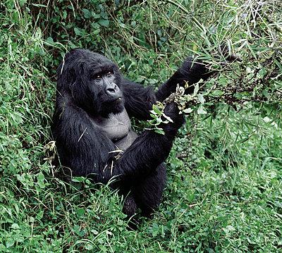 Great ape - p6520742 by Nigel Pavitt
