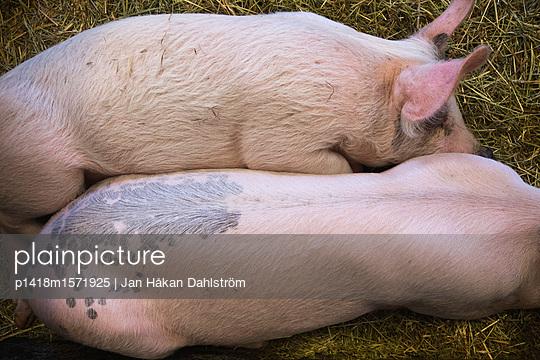 Zwei schlafende Schweine - p1418m1571925 von Jan Håkan Dahlström