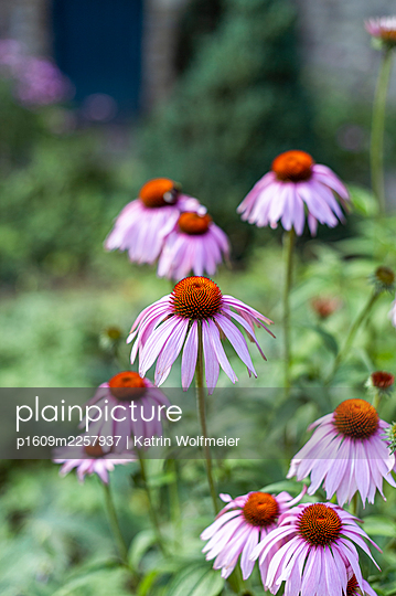 Echinacea in the garden - p1609m2257937 by Katrin Wolfmeier