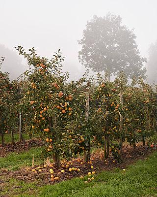 Apfelplantage  - p1124m1069648 von Willing-Holtz
