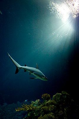 Shark - p5920023 by Thomas Victor