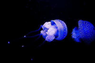 Blaue Quallen - p1357m2178909 von Amadeus Waldner