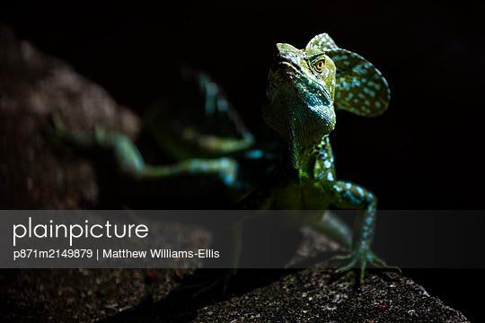 Common Basilisk (Jesus Christ Lizard) (Basiliscus Basiliscus), Tortuguero National Park, Limon Province, Costa Rica - p871m2149879 by Matthew Williams-Ellis