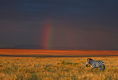 The late afternoon sun breaks through rain clouds in the Masai Mara National Reserve to paint the landscape a hue of brilliant golden-red with a rainbow in the far distance - p6521409 by Nigel Pavitt