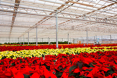 Rows of multi-coloured poinsettias that were grown in a greenhouse operation nearing the Christmas season; St. Albert, Alberta, Canada - p442m2004068 by LJM Photo