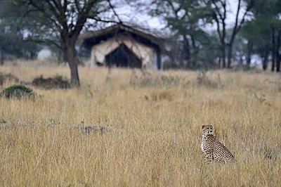 A cheetah watches safari viewers - p1166m2141017 by Cavan Images