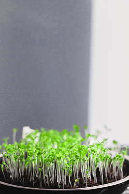 Fresh micro greens, growing, macro photography. green leafs. mixed salad - p1166m2190665 by Cavan Images