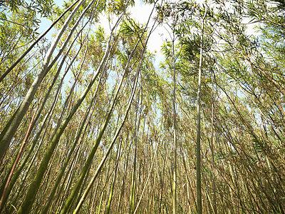 Willow biomass fuel growing outdoors - p42915171f by Monty Rakusen