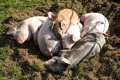 Ein Haufen Schweine - p5150087 von E.Coenders