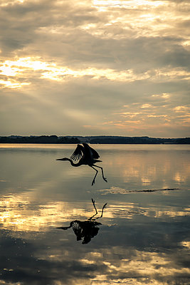 Heron at Sunset on Bay  - p1019m2100432 by Stephen Carroll