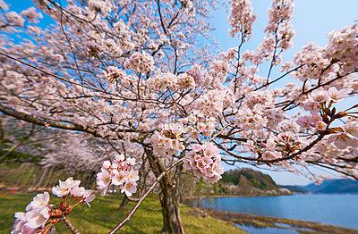 Cherry blossoms in full bloom at Lake Biwa, Shiga Prefecture, Japan - p307m1495901 by MATSUO.K