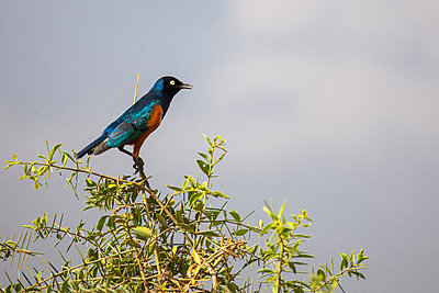 Colorful bird is sitting on the tree, on safari in Kenya - p1166m2152060 by Cavan Images