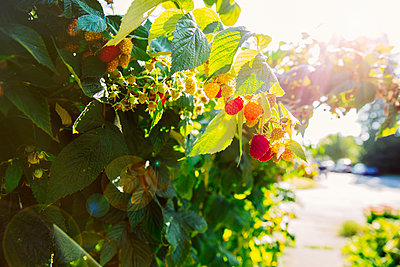 Close up of raspberries growing on leafy vines - p555m1412597 by Inti St Clair