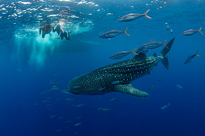 Whale shark (Rhincodon typus) with rainbow runner observed by a tourist and guide in Honda Bay, Palawan, The Philippines, Southeast Asia - p871m2122889 by Duncan Murrell