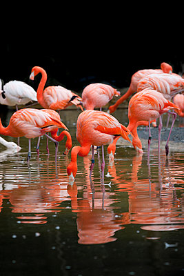 Greater flamingoes - p248m959256 by BY