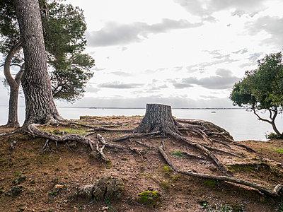 Baumstumpf an der Küste - p1021m1537868 von MORA