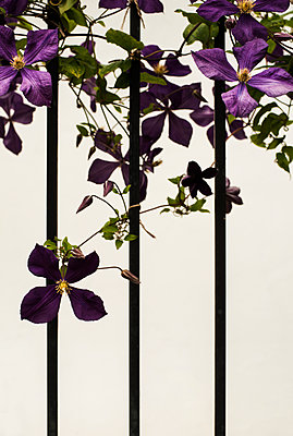 Clematis flower on fence - p971m1051280 by Reilika Landen