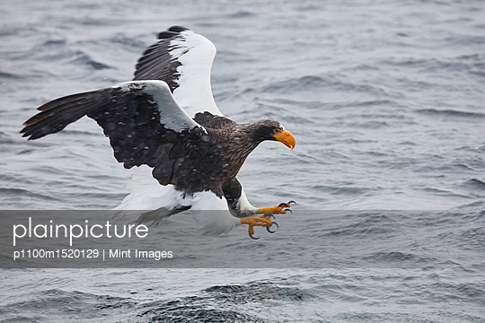 Steller's Sea Eagle, Haliaeetus pelagicus, hunting above water in winter. - p1100m1520129 by Mint Images