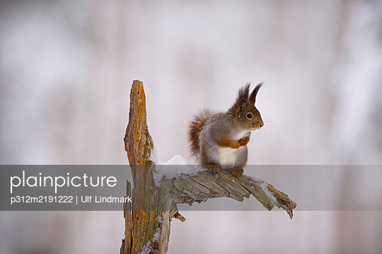 Squirrel on branch - p312m2191222 by Ulf Lindmark