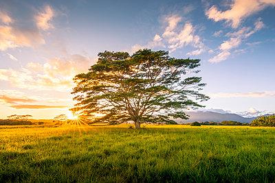 Very big eucalyptus trees on Wailua river. State Park, Kauai island, Hawaii, USA - p651m2085159 by Stefano Termanini