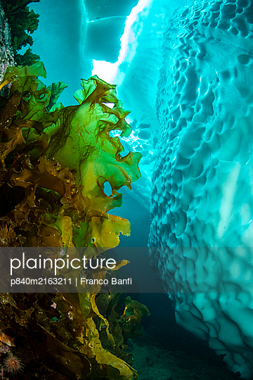 Sugar kelp (Saccharina latissima) near iceberg, view upwards to gap in sea ice. Tasiilaq, East Greenland. April. - p840m2163211 by Franco Banfi