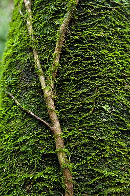 Baum mit Moos - p427m916686 von R. Mohr