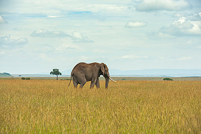 African elephant (Loxodonta) on the Serengeti; Tanzania - p442m2074102 by Its About Light