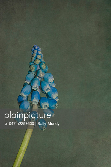 Macro close-up of grape hyacinth flowers on stalk against a grey background - p1047m2259800 by Sally Mundy