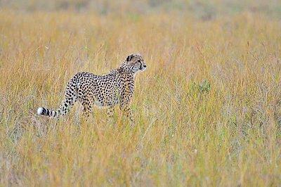 A cheetah walks the savannah looking for its prey - p1166m2141018 by Cavan Images