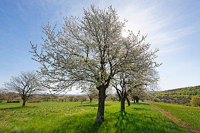 Austria, Burgenland, Rohrbach, cherry blossom - p300m1023448f by Martin Siepmann