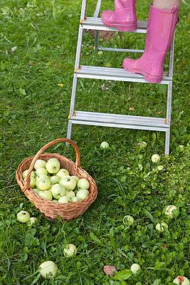 Äpfel pflücken - p4541506 von Lubitz + Dorner