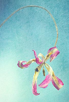 Verwelkte Tulpe - p509m1030805 von Reiner Ohms