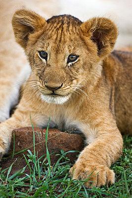 Lion - p6520482 by Nigel Pavitt