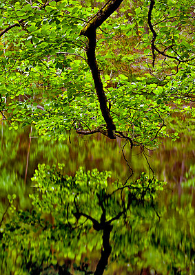 Trees reflecting in the water in the lake (Träd speglar sig i vattenytan i sjø) - p847m672927 by Claes Grundsten