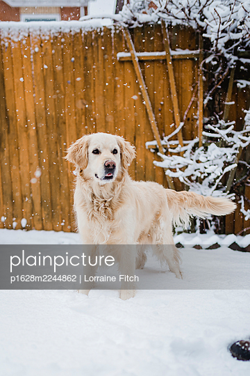 Golden retriever in the snow - p1628m2244862 by Lorraine Fitch