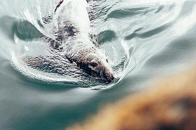 Seehund guckt in die Kamera - p1085m1441885 von David Carreno Hansen