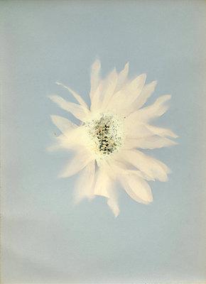 White flower - p945m2177749 by aurelia frey