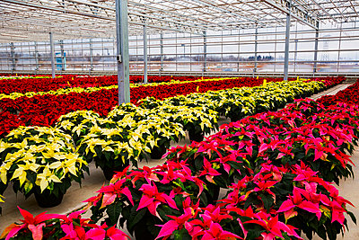 Rows of multi-coloured poinsettias that were grown in a greenhouse operation nearing the Christmas season; St. Albert, Alberta, Canada - p442m2003973 by LJM Photo