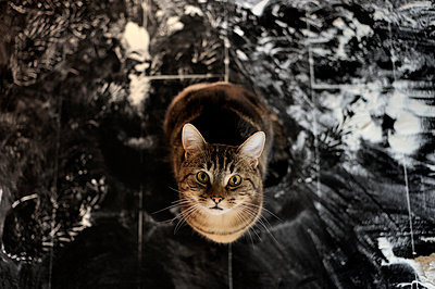 Katze blickt neugierig - p491m1132545 von Ernesto Timor