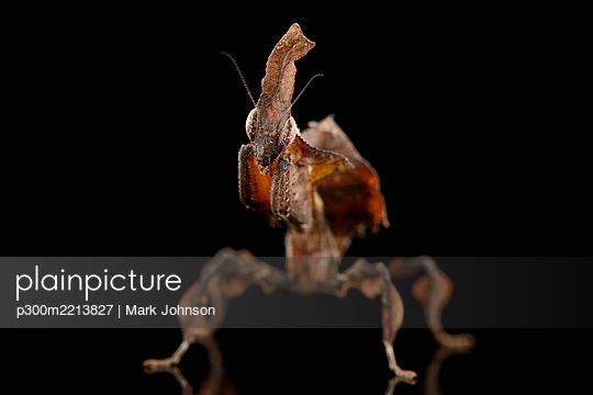 Ghost Mantis, Phyllocrania paradoxa, in front of black background - p300m2213827 by Mark Johnson