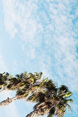 Top section of some palm trees against the sky - p1423m2087268 by JUAN MOYANO