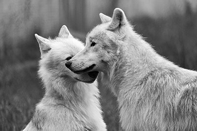 Two white wolves communicating with each other. - p1433m2014877 by Wolf Kettler