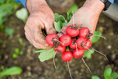 Fresh radishes - p1629m2211306 by martinameier