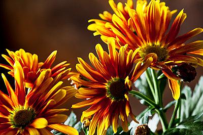 Bicoloured Chrysanthemum - p300m1537606 by Dieter Heinemann