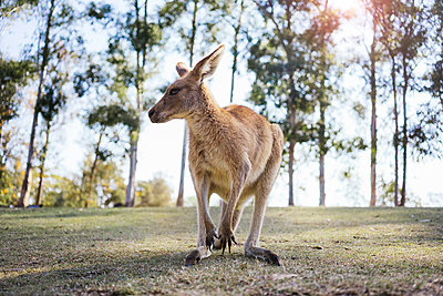 Australia, Brisbane, portrait of kangaroo - p300m2070647 von Gemma Ferrando