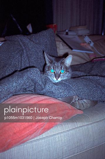 Cat on a sofa - p1055m1031560 by Joseph Charroy