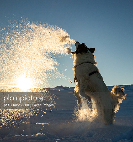 Happy dog playing in winter snow - p1166m2250600 by Cavan Images
