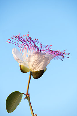Caper flower in the evening light - p1580m2191509 by Andrea Christofi