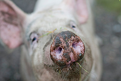 Close-up of pig's snout - p426m844519f by Helena Wahlman